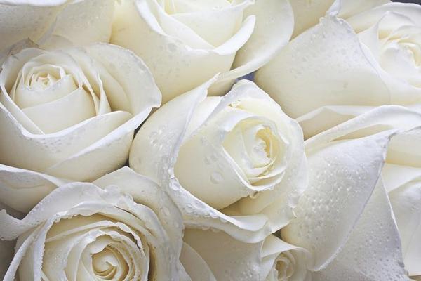 Rosas blancas mojadas